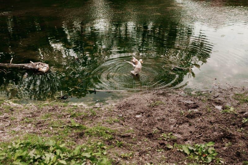 O pato selvagem adulto, homem, nadando na água do rio ou do lago Pato selvagem na natureza fotos de stock