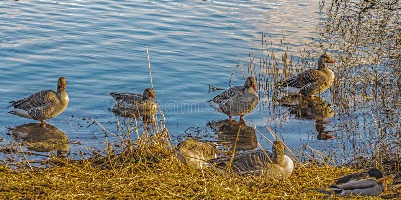 O pato selvagem ducks (os platyrhynchos dos Anas) fotos de stock