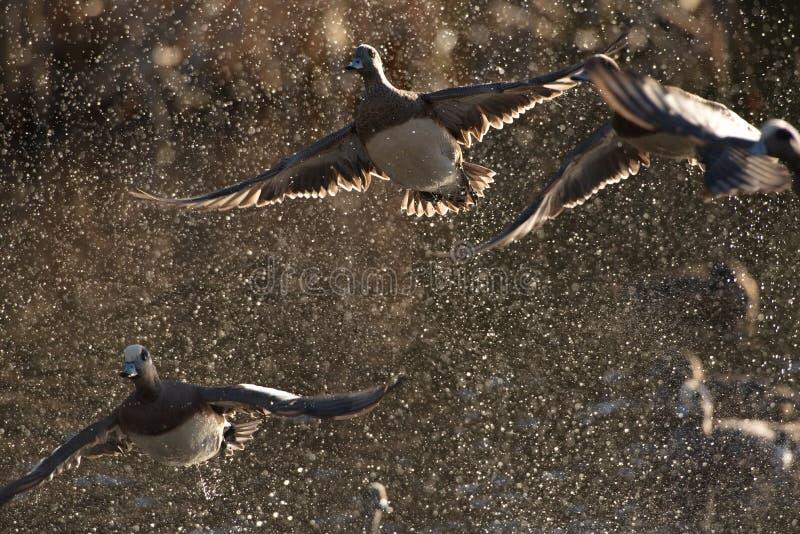 O pato selvagem ducks platyrhynchos dos Anas que descola em um pulverizador do wate imagens de stock royalty free