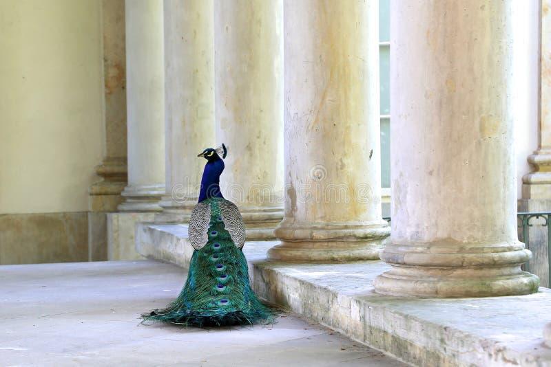 O pavão anda perto do palácio no parque real de Lazienki imagens de stock