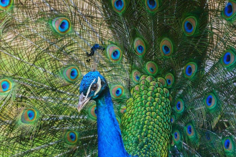 O pavão colorido com a cauda abriu inteiramente imagem de stock royalty free