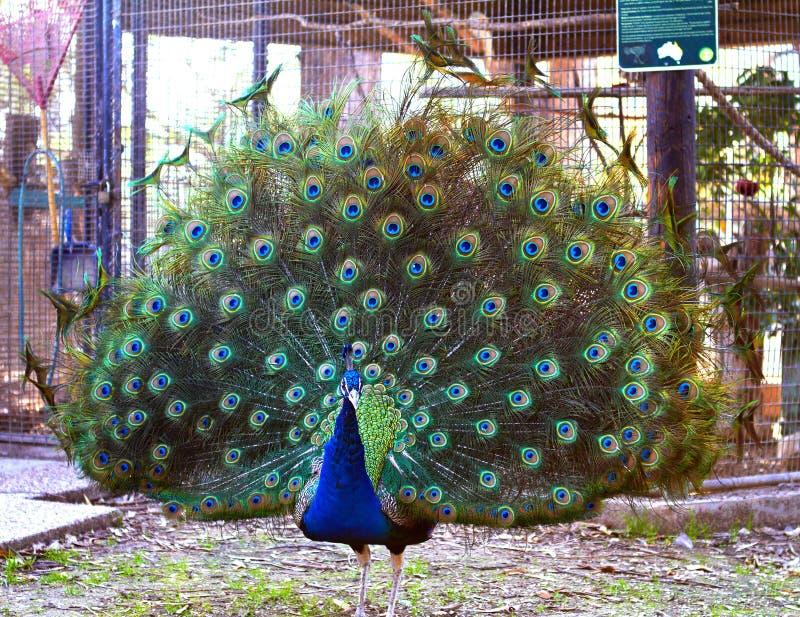 O pavão demitiu uma cauda grande bonita com azul esverdeado imagens de stock