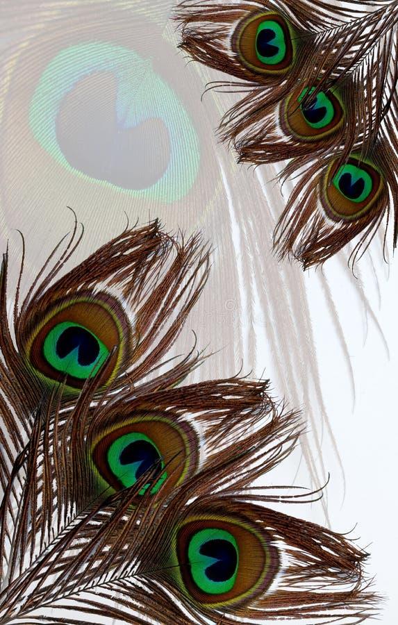 O pavão empluma-se no fundo textured do pavão a pena branca imagens de stock