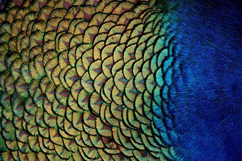 O pavão empluma-se o Close-Up