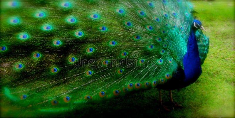 O pavão espalhou penas modeladas fotografia de stock