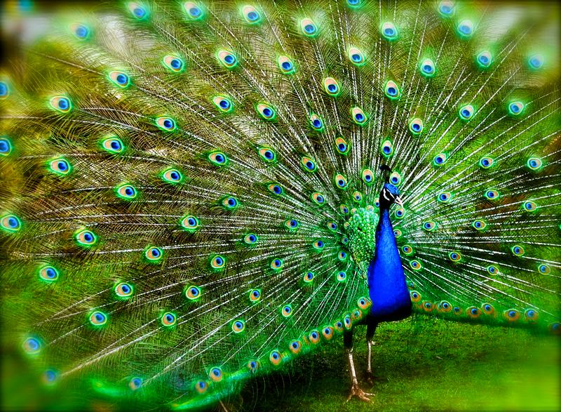 O pavão espalhou penas modeladas fotos de stock royalty free