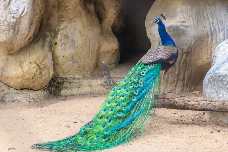O pavão está vivendo na caverna Peafowl indiano masculino ou peafo azul imagem de stock royalty free