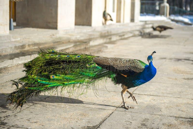 O pavão no vestido completo anda no parque de Lazienki em Varsóvia fotografia de stock royalty free