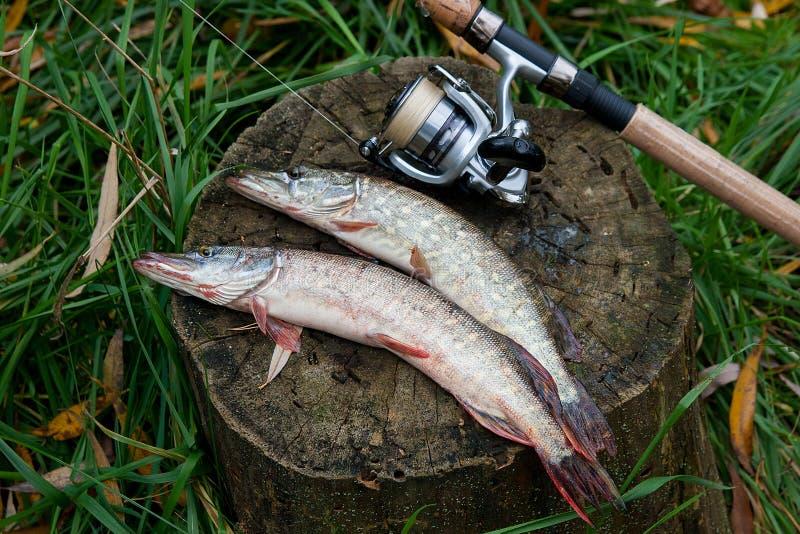 O peixe de água doce do pique encontra-se em um cânhamo e em uma vara de pesca de madeira com imagem de stock