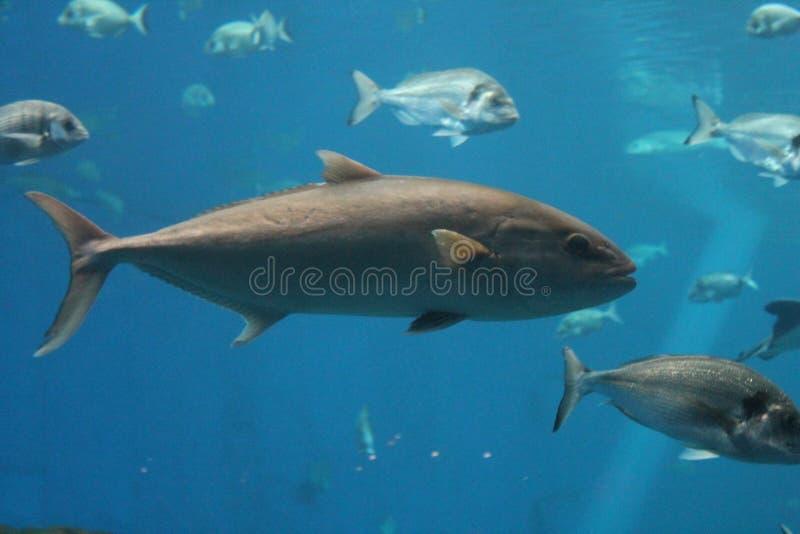O peixe de atum nada - a natação subaquática do thynnus do Thunnus do atum de Bluefin imagem de stock royalty free