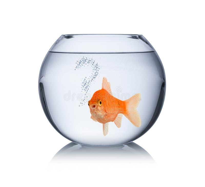 O peixe dourado na bacia com conceito só dos peixes do captiveiro das bolhas do ponto de interrogação isolou-se fotos de stock royalty free