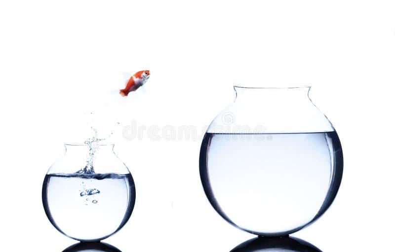 O peixe dourado que salta de pequeno a uma bacia mais grande isolada imagem de stock royalty free