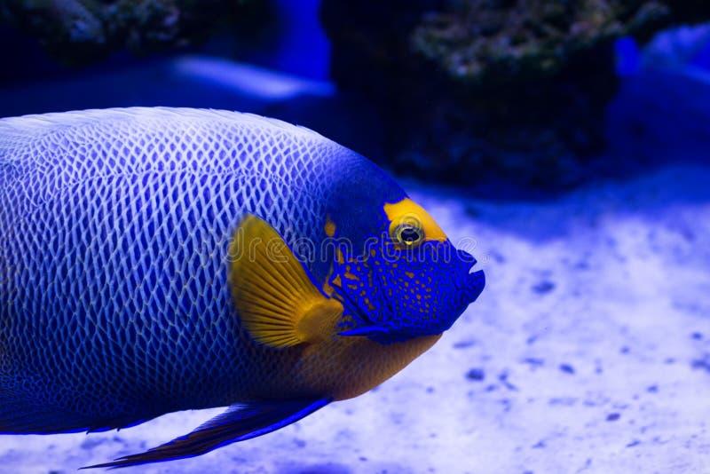 O peixe tropical nada perto do recife de corais foto de stock