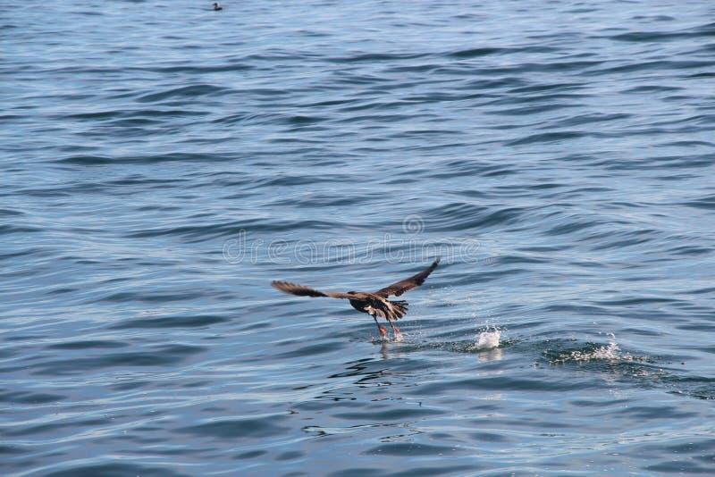 O pelagicus oceânico do Phalacrocorax do cormorão, igualmente conhecido como o cormorão de Baird, decola da água foto de stock royalty free