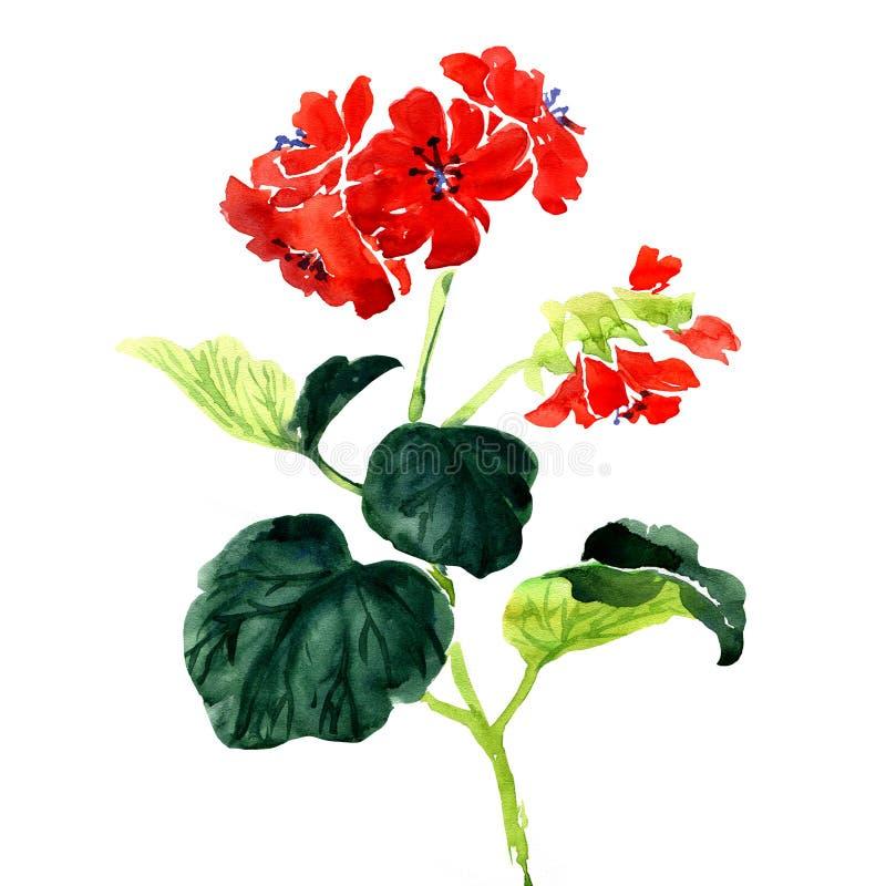 O Pelargonium do gerânio floresce o ramalhete no branco ilustração royalty free