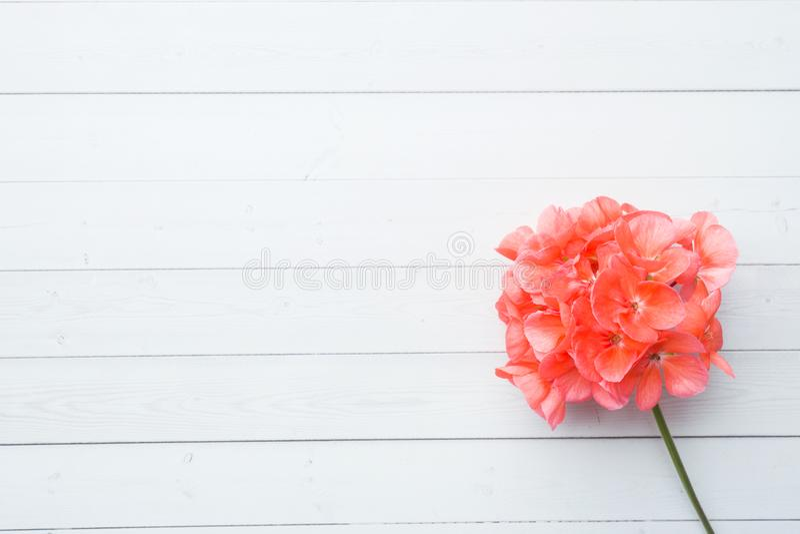 O Pelargonium, gerânio do jardim, aumentou flor do gerânio no fundo de madeira branco com espaço da cópia Foco seletivo imagens de stock royalty free