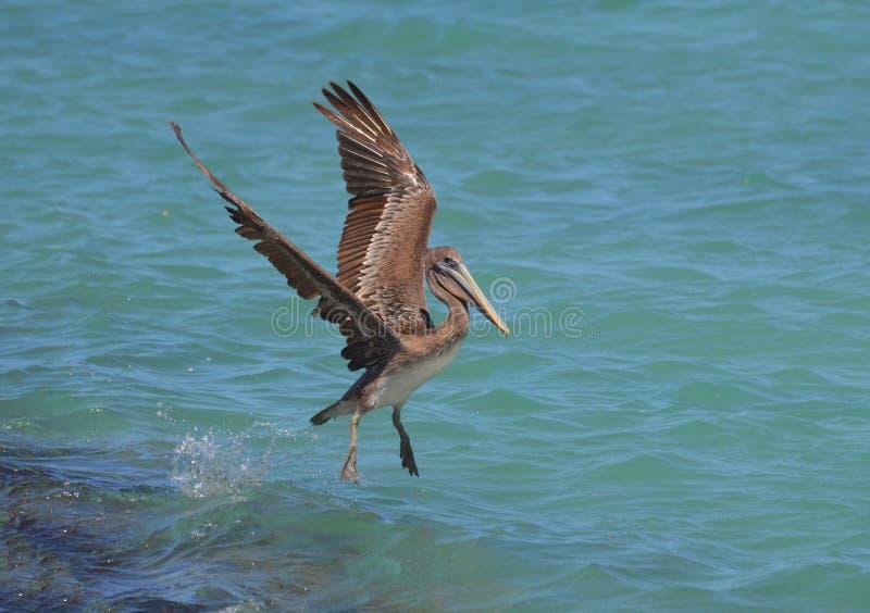 O pelicano bonito com o seu voa prolongado como ele aterra fotografia de stock royalty free