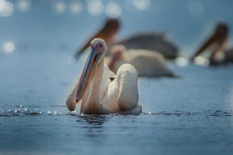 O pelicano branco de Reat, o onocrotalus do Pelecanus, o pelicano branco oriental, o pelicano rosado ou o pelicano branco são um  fotos de stock