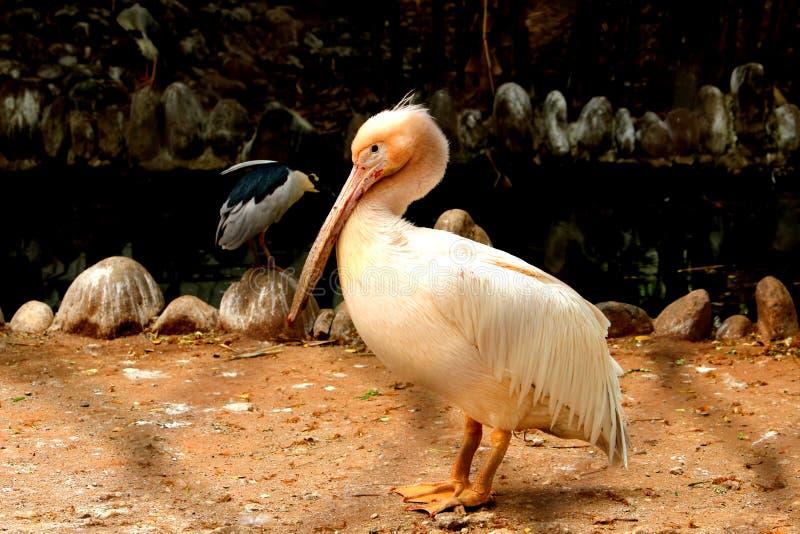 O pelicano branco está tomando o resto fotos de stock royalty free