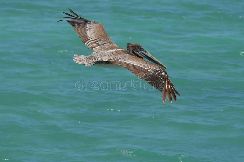 O pelicano com o seu voa prolongado sobre as águas tropicais de Aruban fotografia de stock royalty free