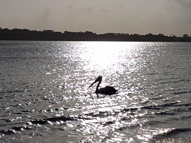 O pelicano molha a prata cintilante foto de stock royalty free
