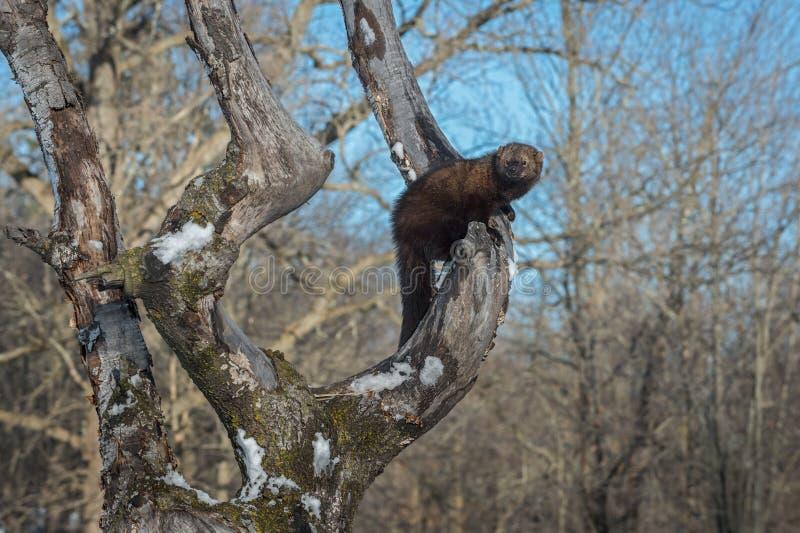 O pennanti de Fisher Martes olha para fora do inverno da árvore foto de stock