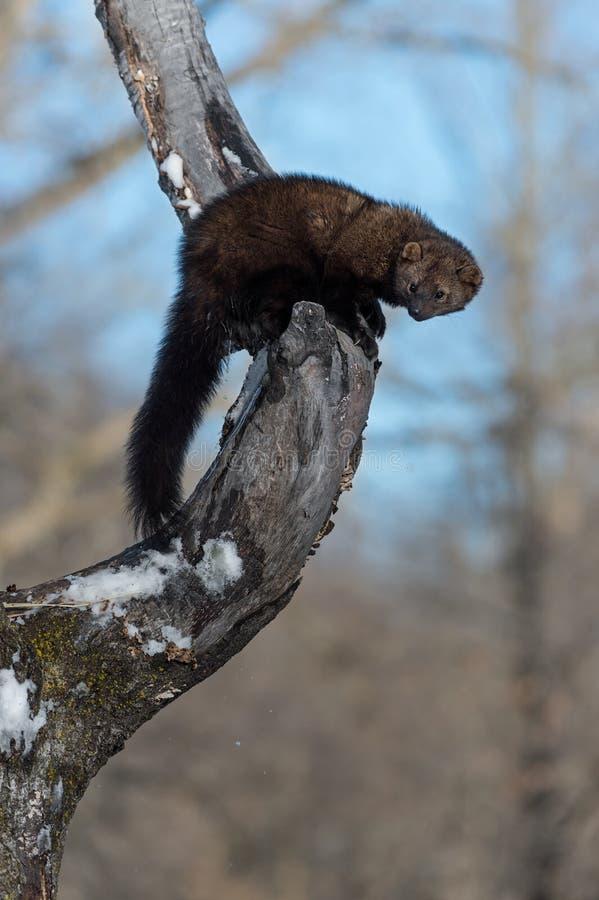 O pennanti de Fisher Martes urina no inverno da árvore fotografia de stock