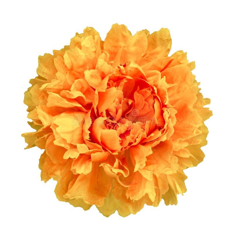O peon de Terry da flor pintou semi nas cores isoladas no backg branco fotos de stock