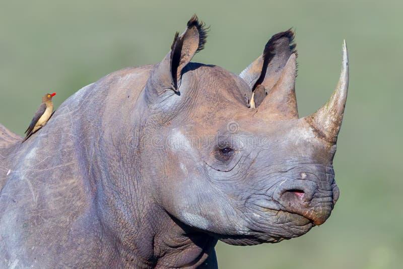 O perfil adulto do rinoceronte preto, vermelho faturou Oxpecker imagem de stock royalty free