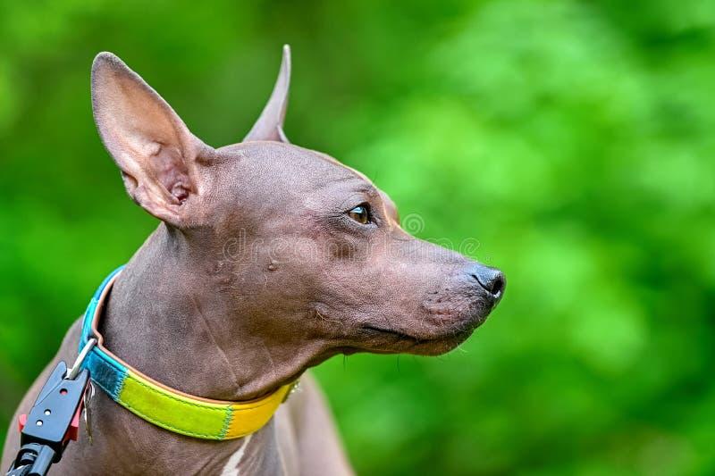 O perfil do cão American Hairless Terriers retrata o close-up sobre o fundo verde desfocado natural fotos de stock