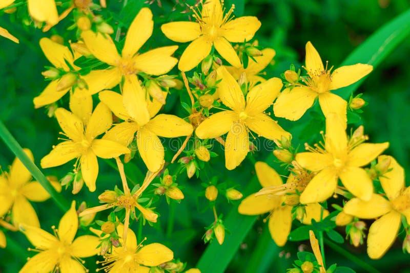 O perforatum do Hypericum floresce o Wort amarelo do ` s de St John do close-up imagens de stock