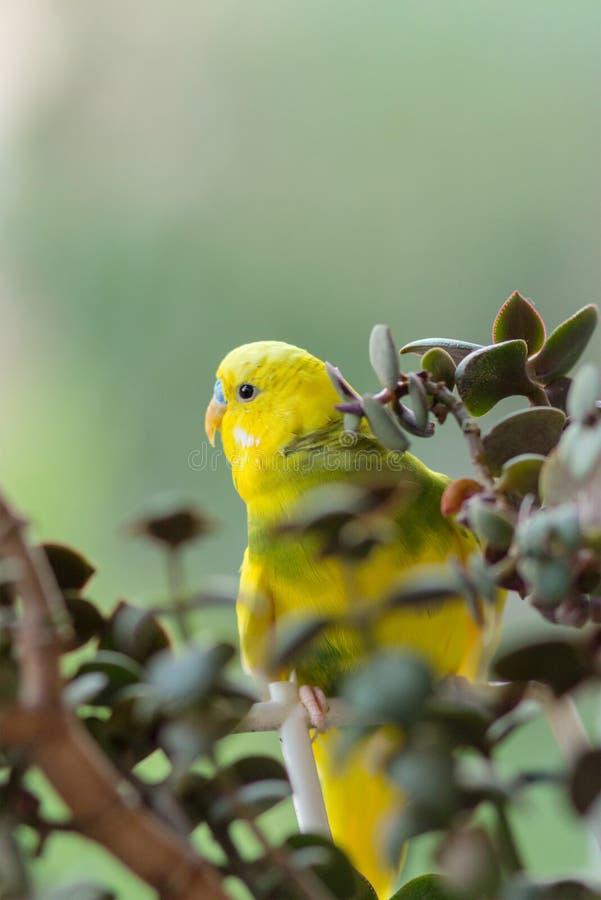 O periquito australiano senta-se em um ramo O papagaio é brilhantemente citrino O papagaio do pássaro é um animal de estimação Bo fotos de stock