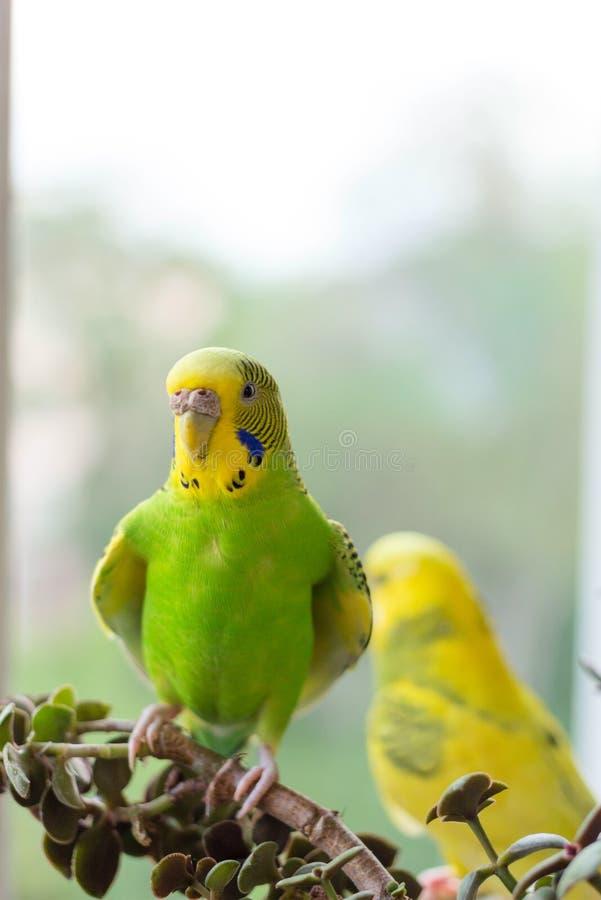 O periquito australiano senta-se em um ramo O papagaio verde-é colorido brilhantemente O papagaio do pássaro é um animal de estim foto de stock