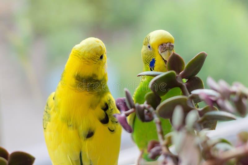 O periquito australiano senta-se em um ramo O papagaio verde-é colorido brilhantemente O papagaio do pássaro é um animal de estim imagens de stock
