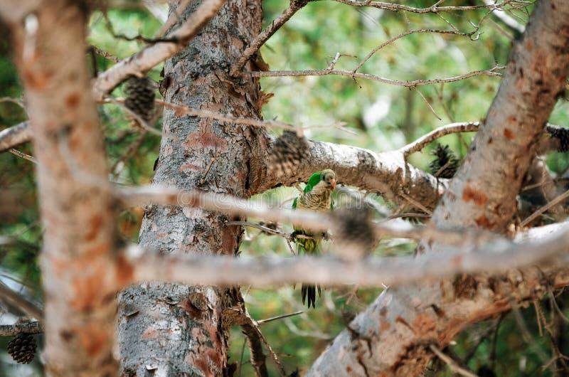 O periquito australiano verde do papagaio senta-se no ramo de árvore imagens de stock royalty free