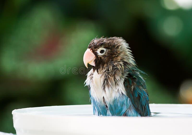 O periquito está molhado ao tomar um banho no fundo borrado do jardim imagens de stock royalty free