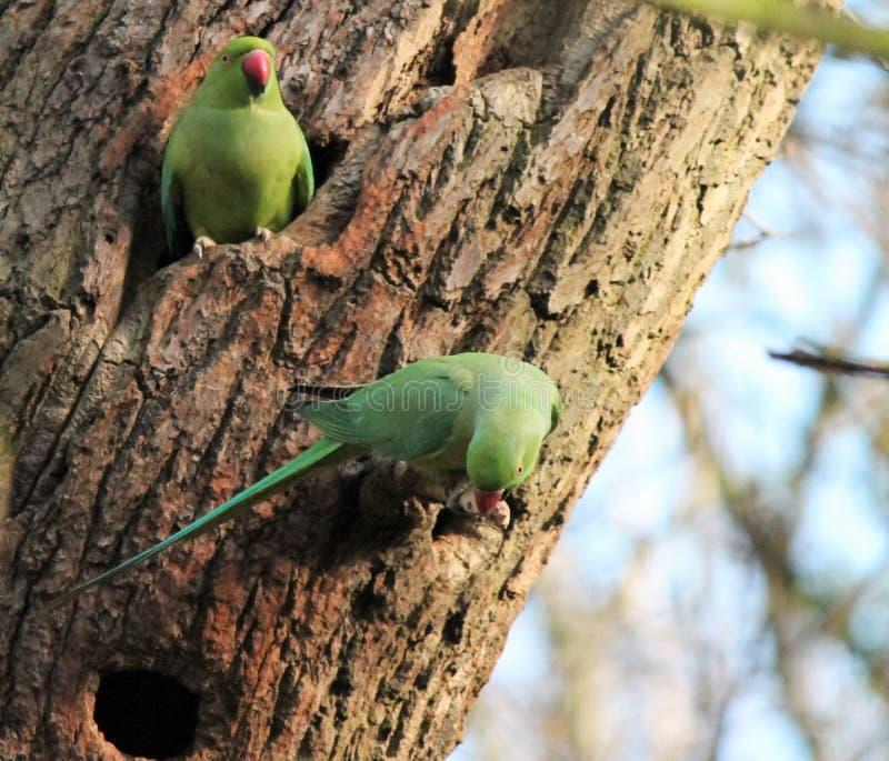 o periquito rosa-rodeado do  (krameri do Psittacula), conhecido como o periquito anel-necked, é um periquito gregário do Afro-as imagens de stock royalty free