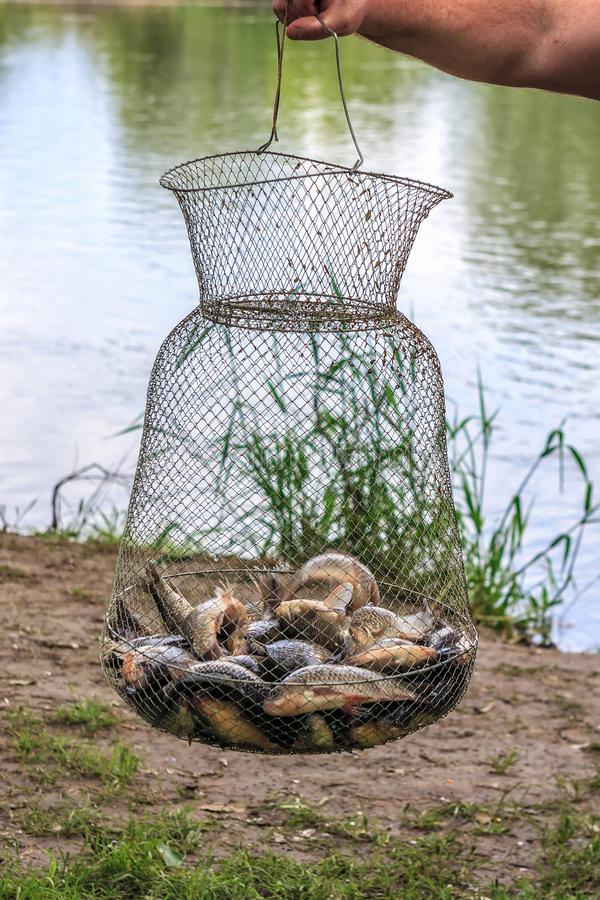 O pescador guarda o corf dos peixes da grade do metal com a captura fresca viva da carpa crucian no fundo do rio na pesca Feche a foto de stock royalty free