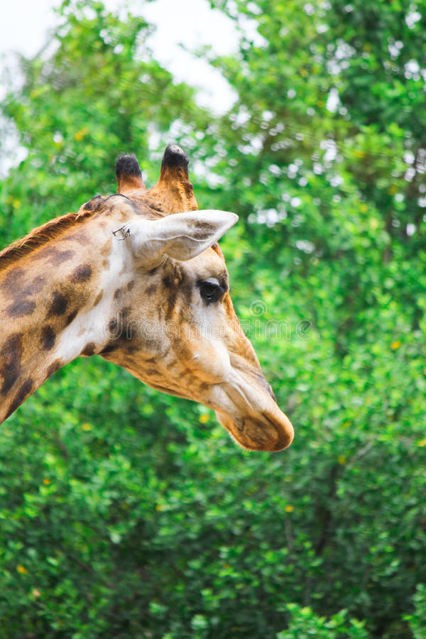 O pescoço e os pés extremamente longos do girafa do girafa fotografia de stock