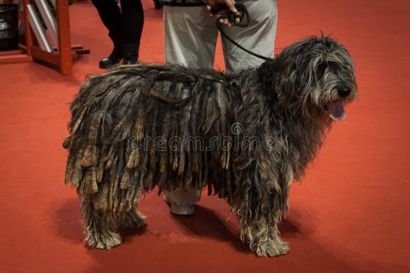 O pessoa e os cães no international perseguem a exposição de Milão, Itália fotos de stock royalty free