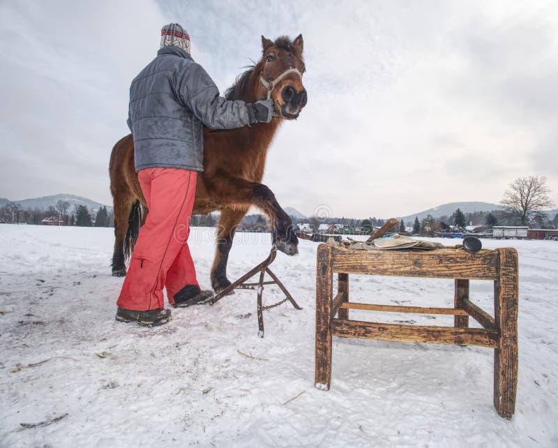 O pessoal da exploração agrícola prepara o cavalo para os cascos que cancelam pelo backsmith foto de stock