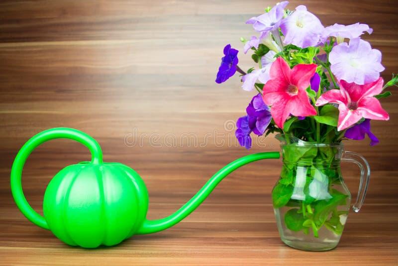 O petúnia colorido floresce em um jarro de vidro com lata molhando imagens de stock