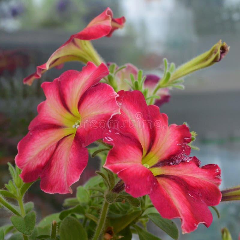 O petúnia floresce com as pétalas cor-de-rosa e vermelhas brilhantes Jardinagem do balcão imagem de stock