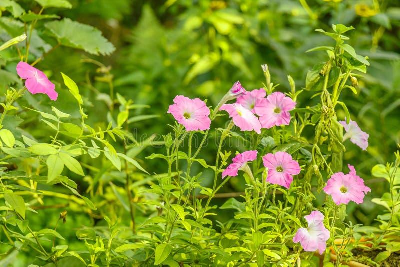 O petúnia floresce a flor no jardim verde fotos de stock royalty free