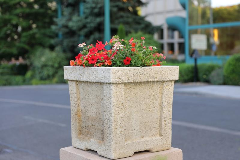 O petúnia - uma flor da família Solanaceous, tem a vária coloração brilhante das flores imagem de stock royalty free