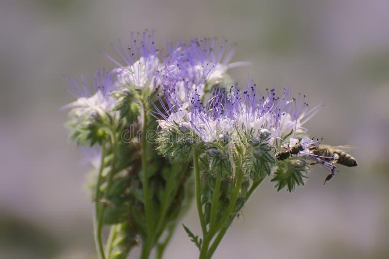 O phacelia de florescência atrai abelhas Pendura perto dos apiários para colher o mel foto de stock