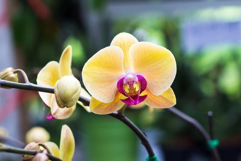 O Phalaenopsis, flores da orquídea de traça, bonitas com amarelo floresce o foto de stock
