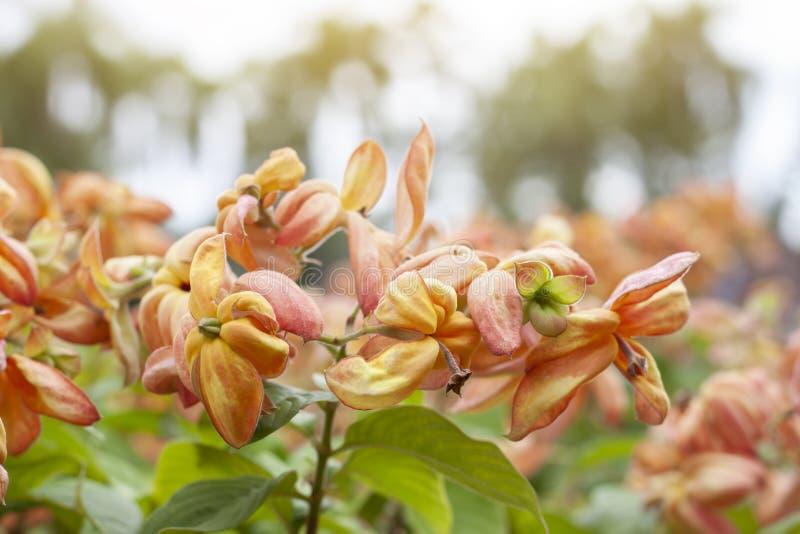 O philippica, Dona Luz ou Dona Queen Sirikit alaranjado de Mussaenda florescem no jardim foto de stock