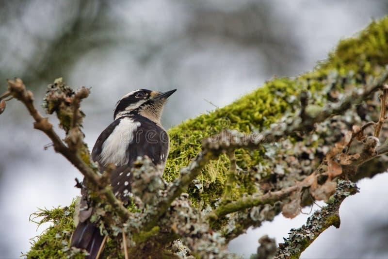 O pica-pau fofo fêmea em um musgo cobriu o ramo de Garry Oak imagens de stock royalty free