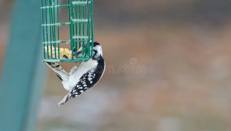 O pica-pau fofo - pubescens do Picoides - pendura em uma gaiola do alimentador e tem uma mordidela a comer imagens de stock royalty free